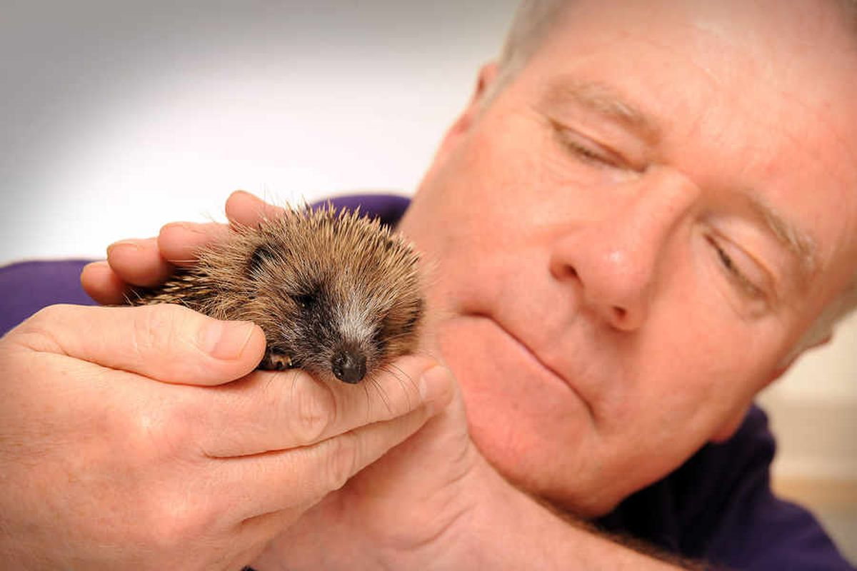 Gentle touch helps stressed hedgehogs in Shropshire