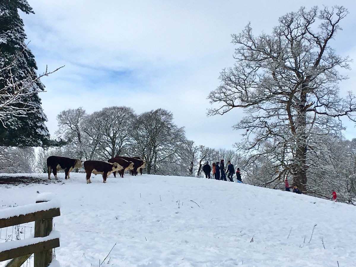Cows which graze on the Castlefields opposite the Mere in Ellesmere mere were curious when sledging families arrived! Photo: Sue Austin.