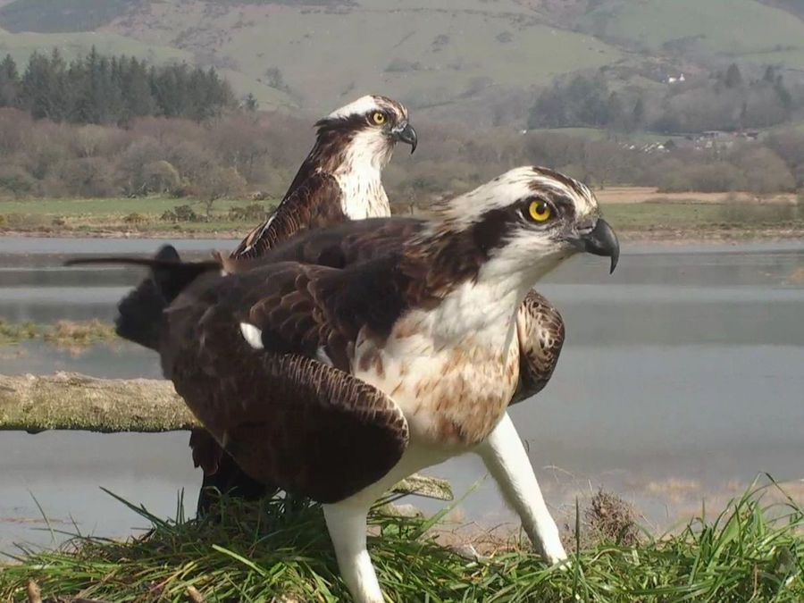 Ospreys Idris and Telyn arrive in mid Wales