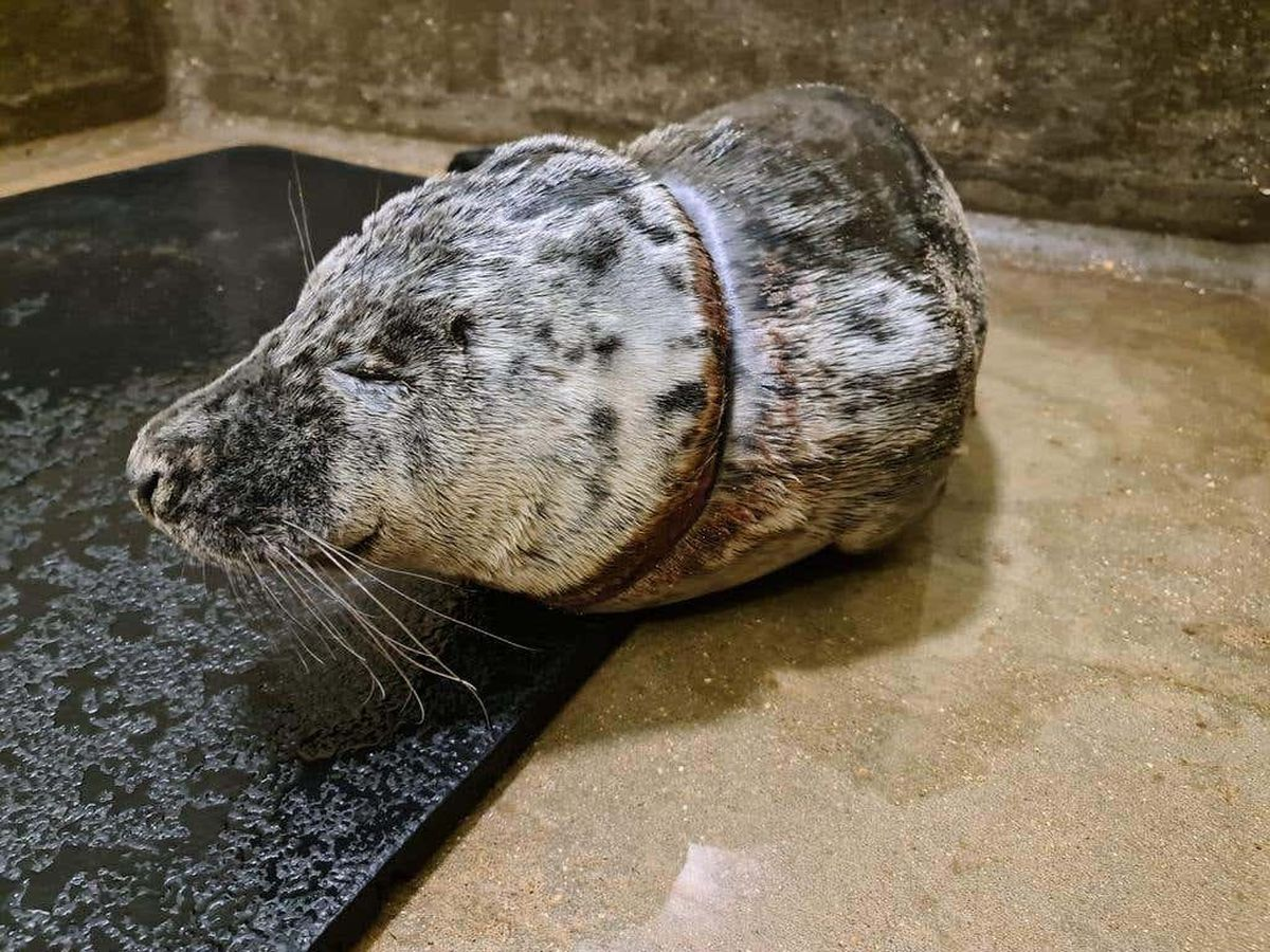 Gnocchi the seal was rescued at Walton-on-the-Naze in Essex after he got a discarded plastic bag caught round his neck. (RSPCA/ PA)