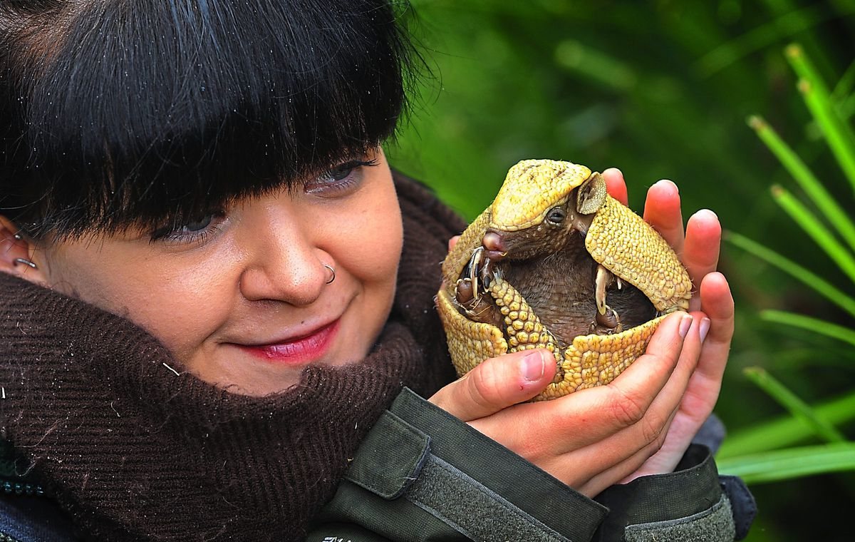 The first baby armadillo born at the Exotic Zoo, Telford, held by zoo keeper Julie Doughty