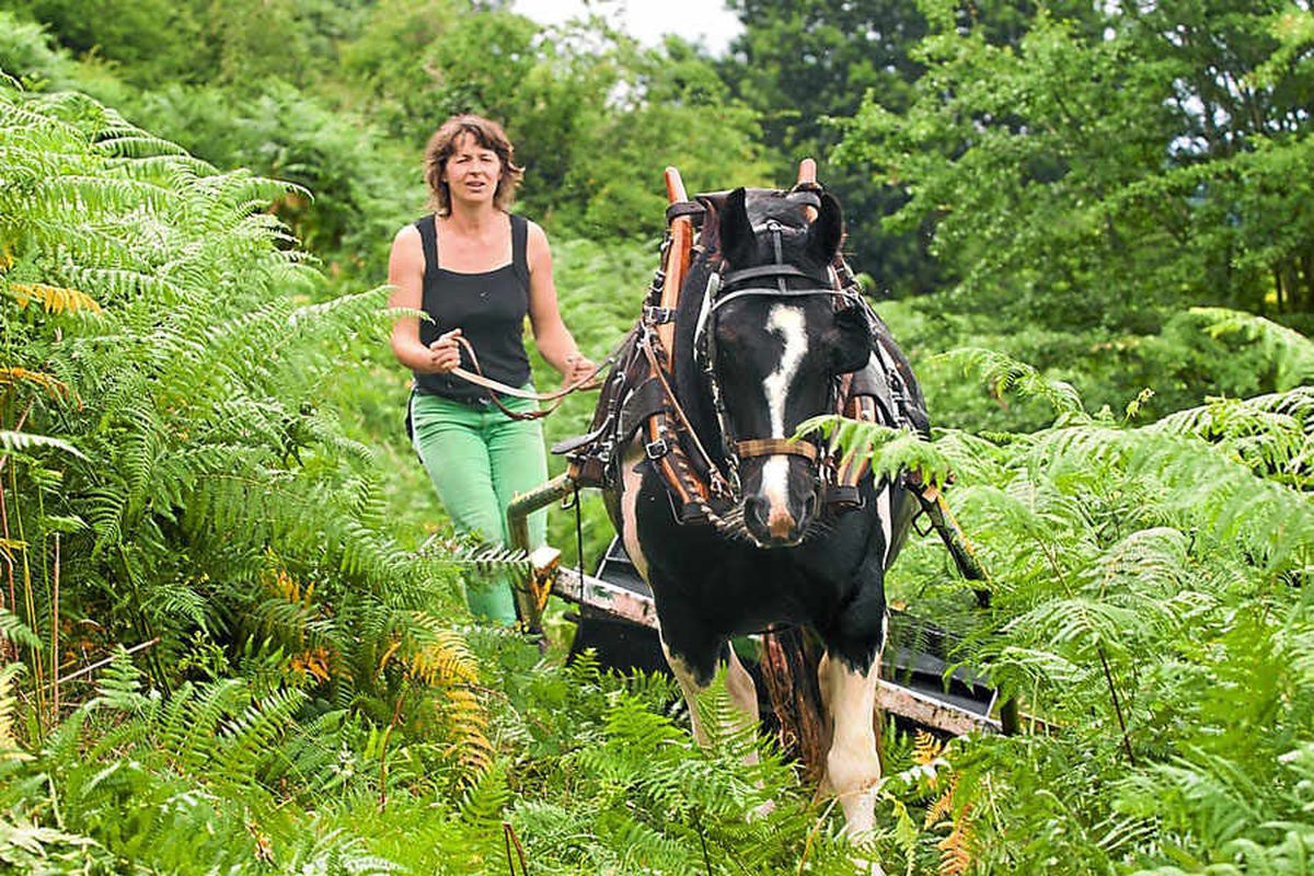 Heavy horse Tyler works with Barbara Haddrill to roll bracken at Nant Mawr nature reserve. Picture:?Laura Dutfield