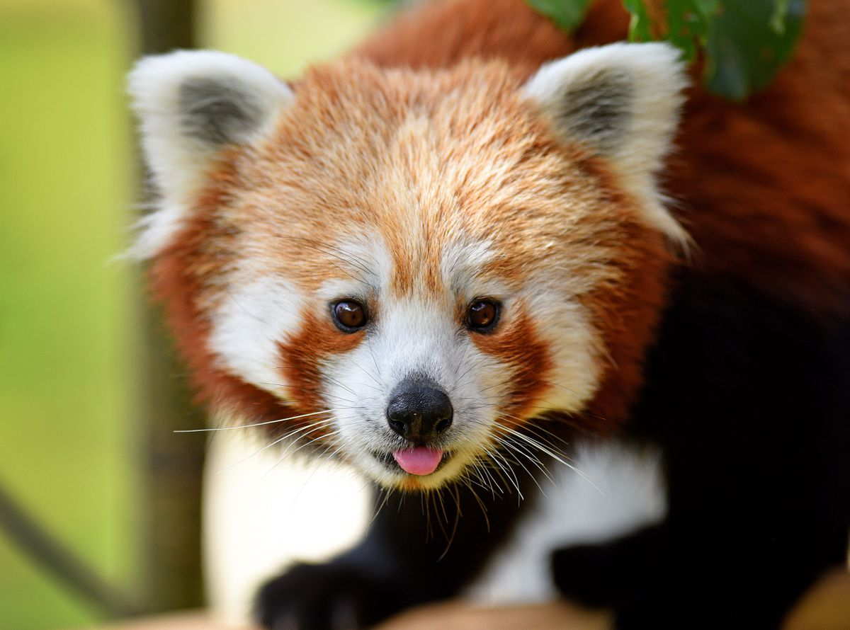 There are plans for a second red panda to join Mei Lin at some point