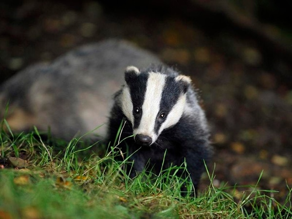 Culling badgers is not the answer