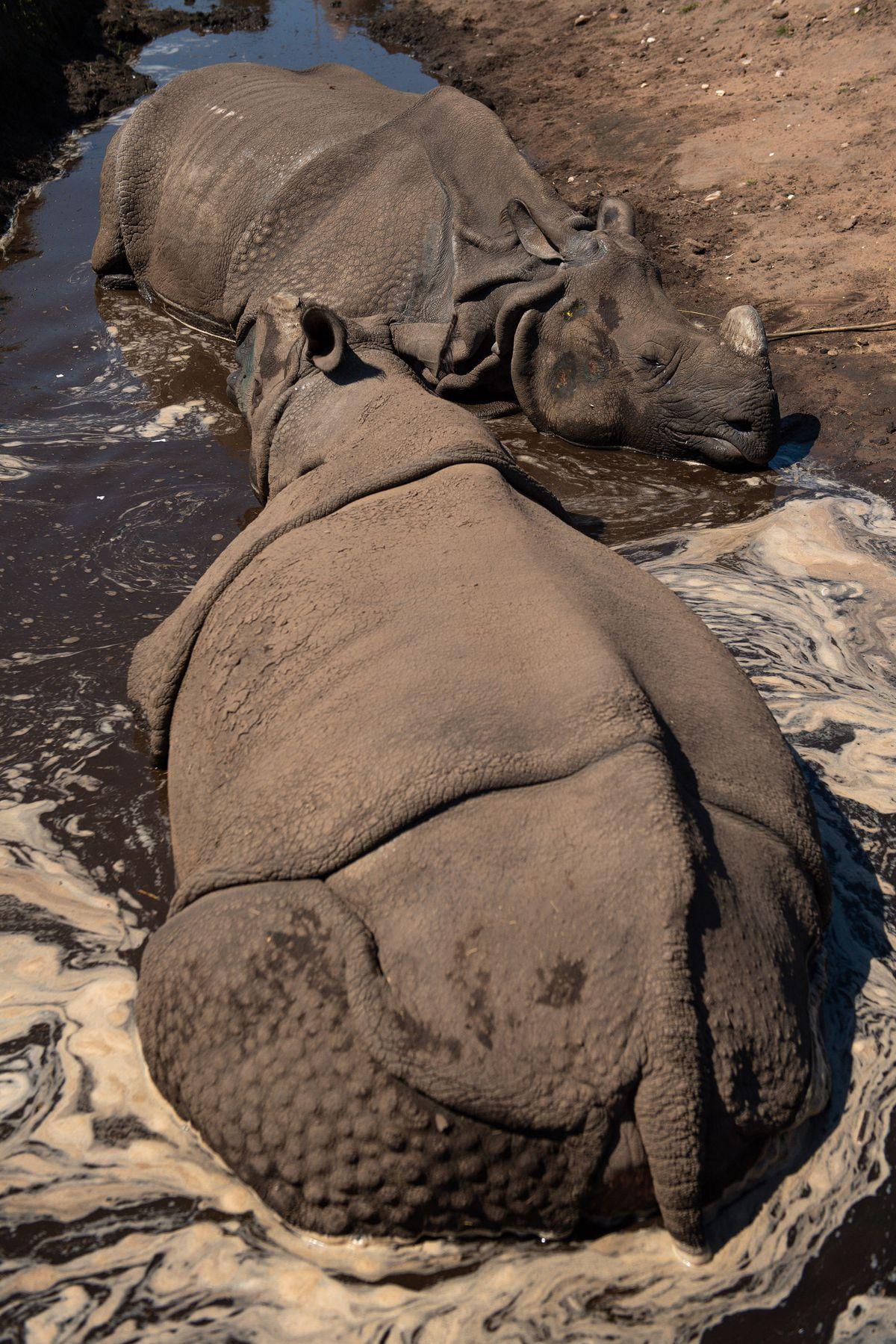 Indian rhinoceros Sunanda and Seto cool down