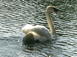 Nesting swan dies after being shot seven times at lake near Shrewsbury