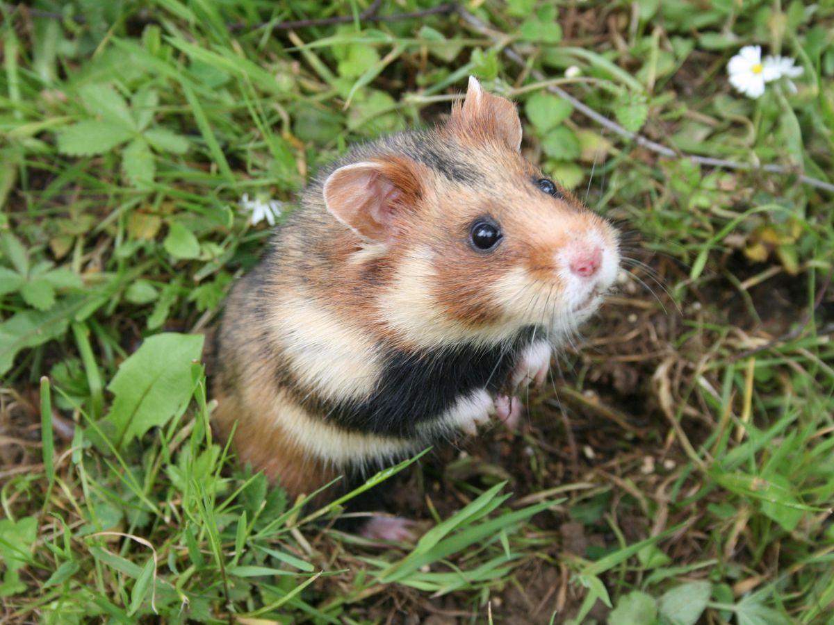 A European hamster
