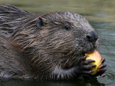 Beavers to become protected species under new legislation