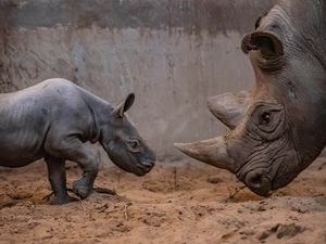 A baby rhino born at Chester Zoo