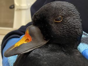 The common scoter. Photo: Cuan Wildlife Rescue