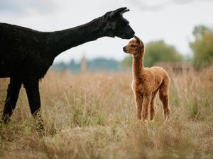 LAST COPYRIGHT SHROPSHIRE STAR JAMIE RICKETTS 18/08/2020 - James Armitage started his Farm two years ago with just a couple of hens. Having expanded to get Alpacas, he has since introduced socially distanced Alpaca Picnics. In Picture: 1 day old Alpaca..