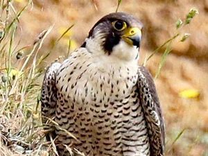 Peregrine falcons have been slowly returning to Shropshire
