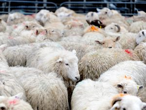 NORTH COPYRIGHT SHROPSHIRE STAR JAMIE RICKETTS 25/02/2015  Oswestry Livestock Markeet in Oswestry Shropshire.  The new live stock market is now being used on the smaller site in Oswestry.  In Picture: Sheep.