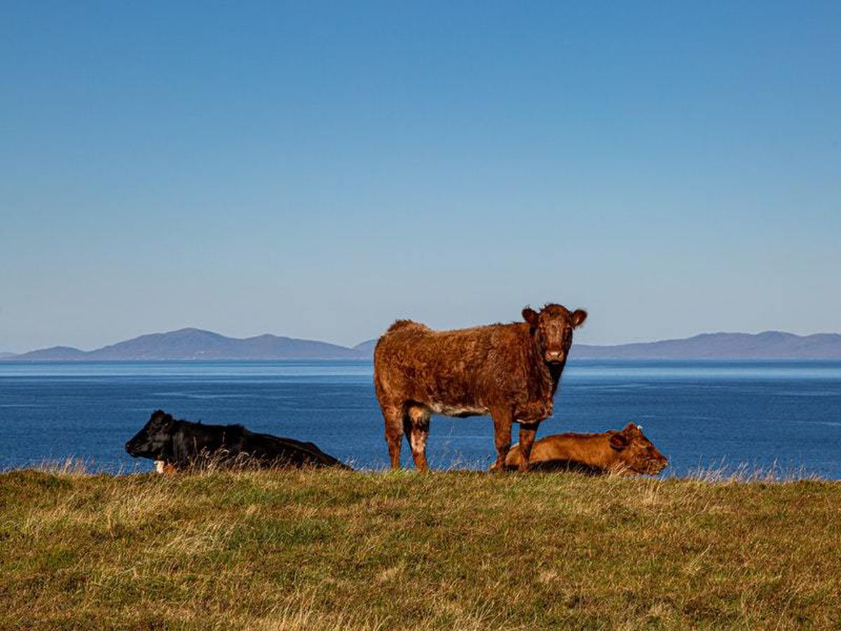 Cows, like these on Skye, are known to be relatively strong swimmers