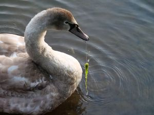 The cygnet at The Flash pool, in Priorslee, Telford. Photo: Stephen Handley.