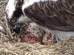 Baby ospreys could hatch at Montgomeryshire Wildlife Trust this half term