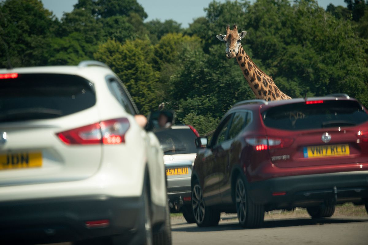 Visitors observe a giraffe at West Midland Safari Park in Bewdley, as Britain is braced for a June heatwave as temperatures are set to climb into the mid-30s this week