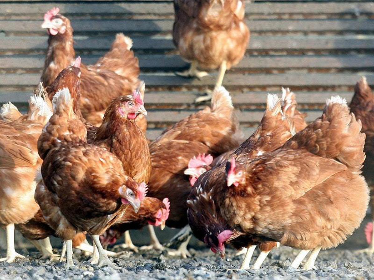 Genetically-modified chickens lay eggs from different ...