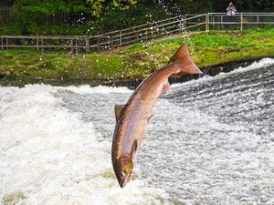 Andrew Fusek Peters snapped this fantastic shot of a salmon leaping on the Severn