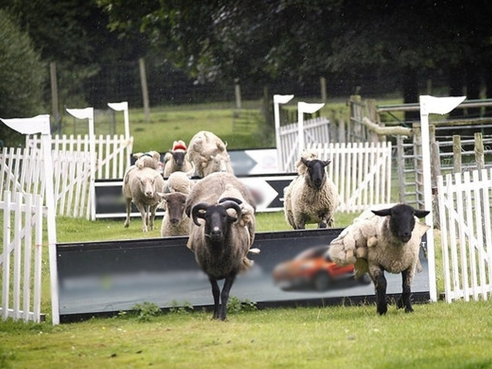 Baa-rilliant news for race fans: Hoo Farm's sheep racing saved after vets' review - with video