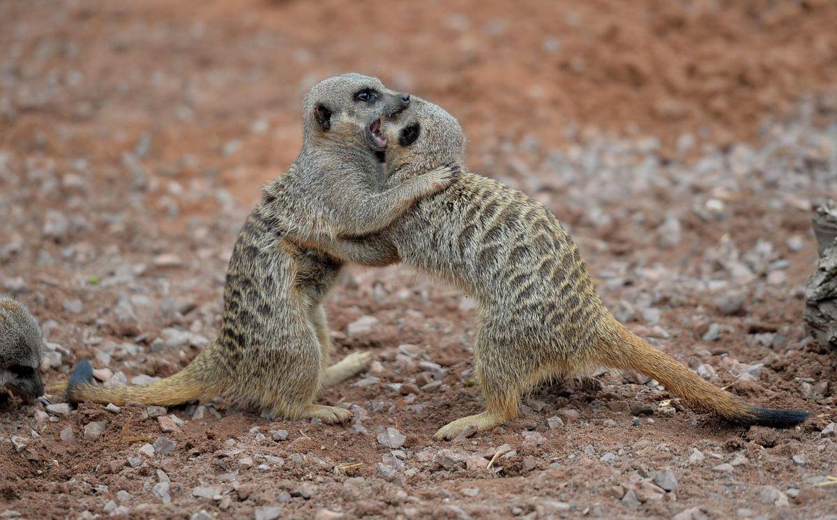 Wrestling meerkat