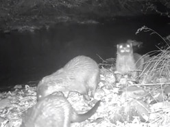 Watch: Family of otters spotted by River Severn in Shropshire