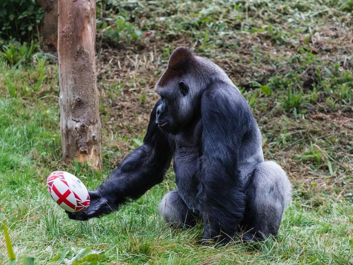 Pertinax the gorilla with a rugby ball at Paignton Zoo (Paignton Zoo/PA)