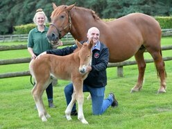WATCH: New hope for rare breeds as a healthy filly foal is born using pioneering technology