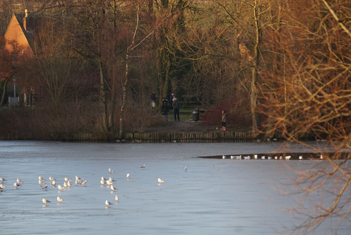 Gulls waiting patiently for the surface of Horsehay Pool to thaw on Saturday. Photo: Andrew Rudge