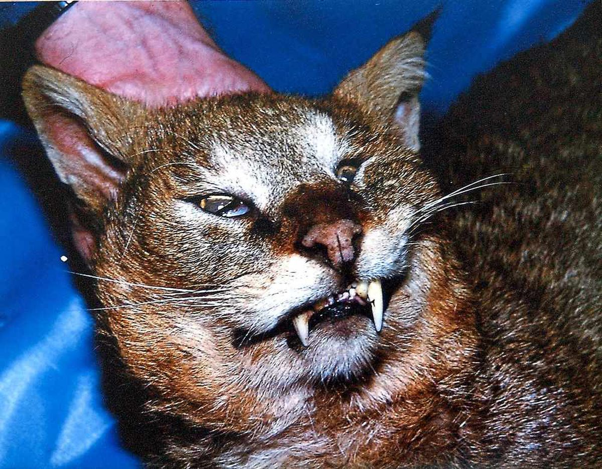 The jungle cat found near Richards Castle. Picture: Gareth Thomas