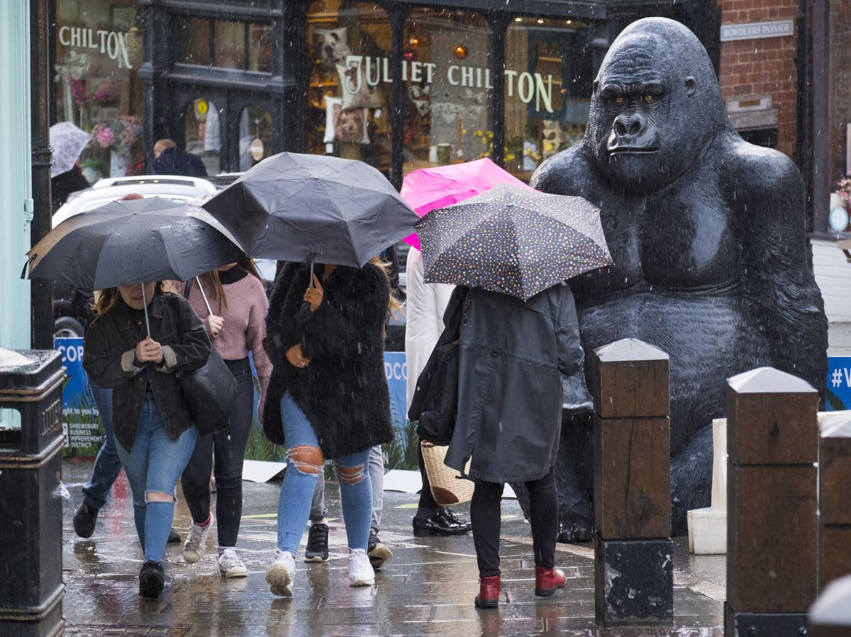 Shoppers battle a shower watched by a life-sized fibreglass gorilla on Wyle Cop, Shrewsbury, during a festival celebrating the town's links with Charles Darwin.