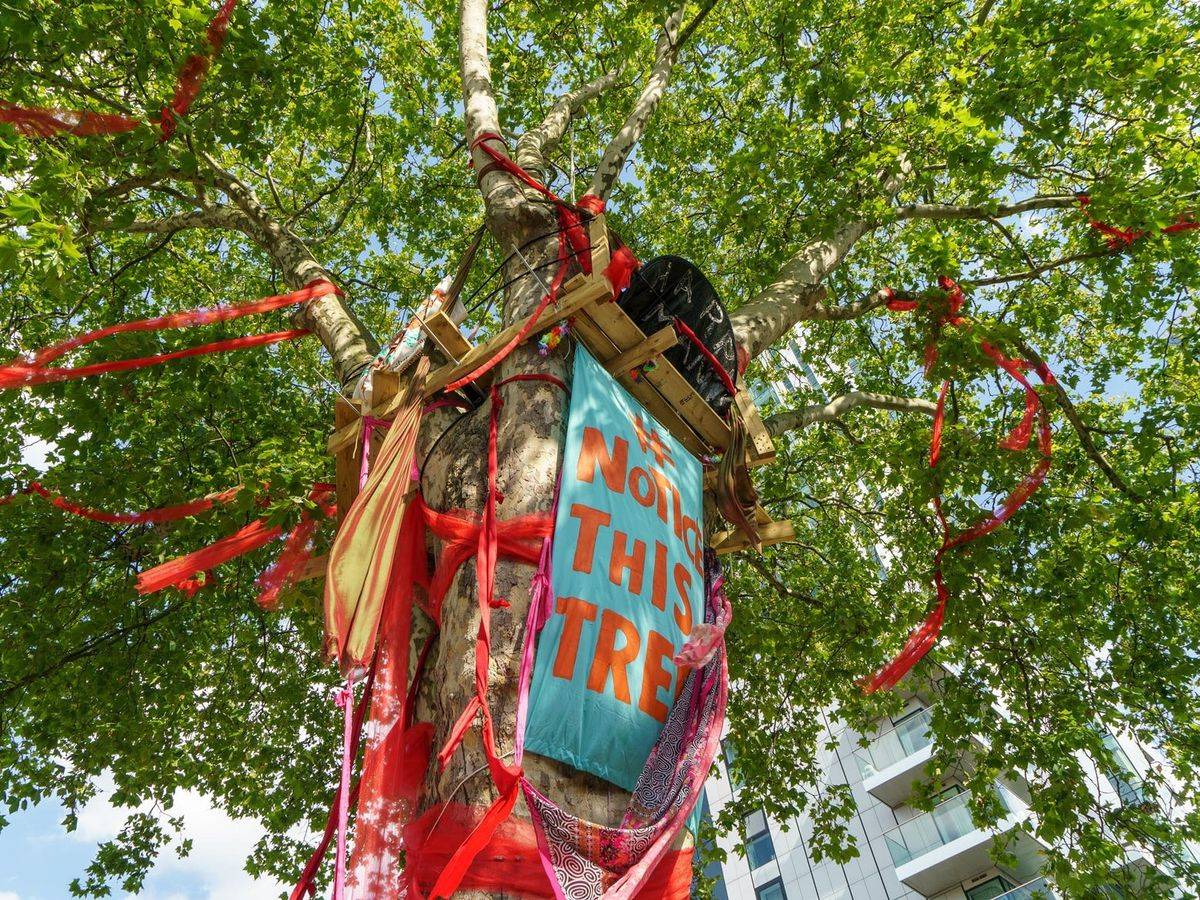 The Happy Man Tree, set to be felled, has won England's Tree of the Year contest (Tessa Chan)