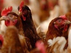 Campaign groups call for chicken farms moratorium