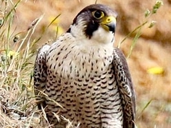 Shropshire falcon group's anger at decision to allow taking of wild chicks