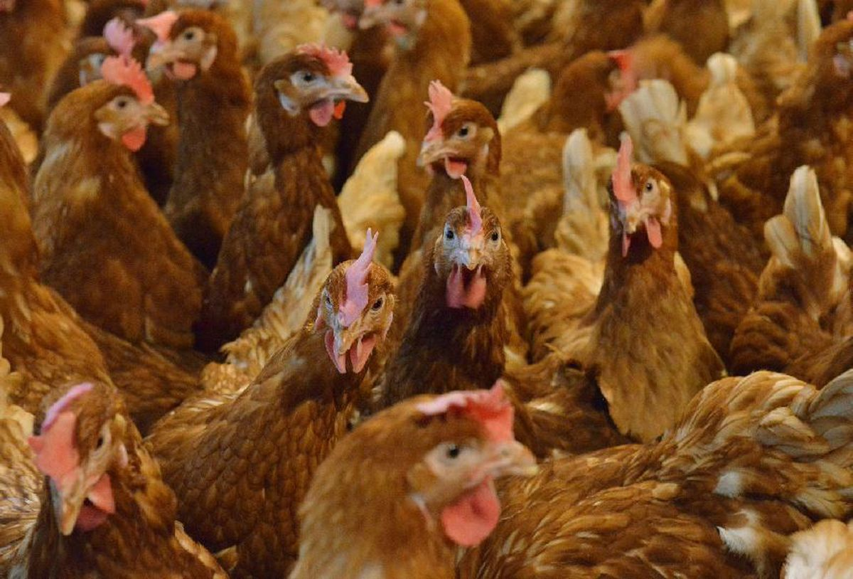 Plans to increase the size of the farm are being recommended for refusal by planning officers