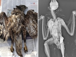Buzzard shot eight times found dead near Llanrhaeadr Waterfall