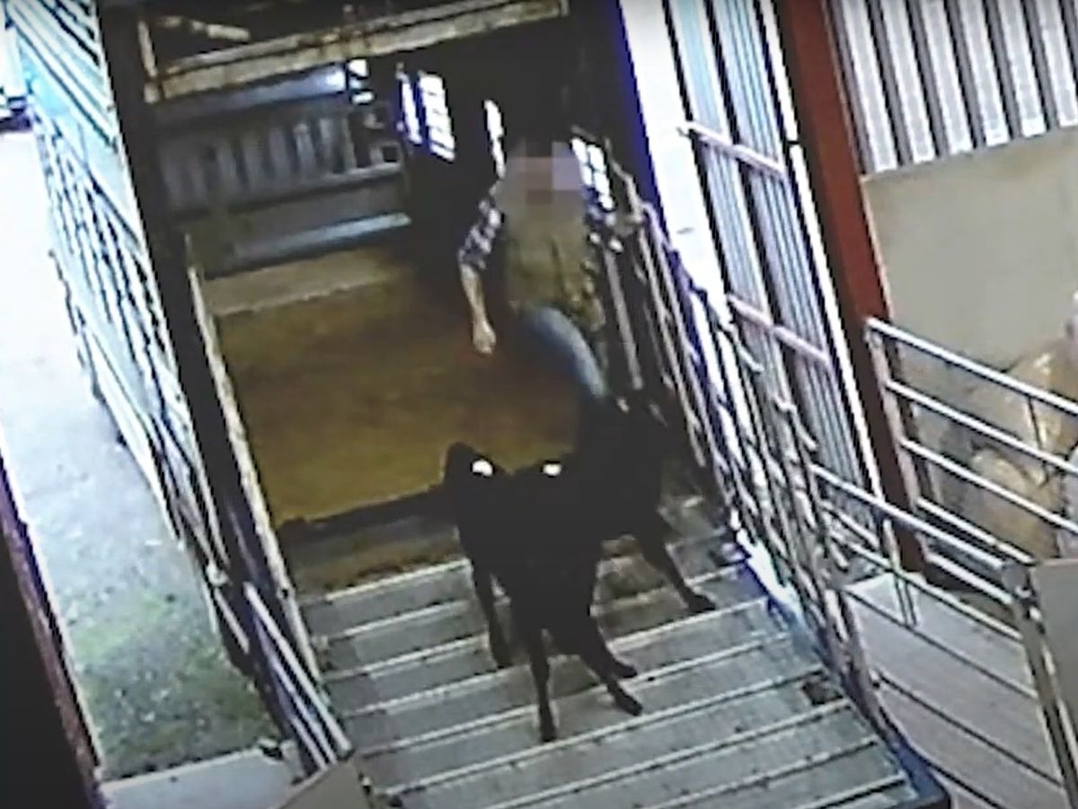 A still from undercover footage filmed by the Animal Justice Project at Oaklands Livestock Centre in Shropshire