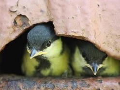 Pictures capture nesting great tits' final moments before fledging