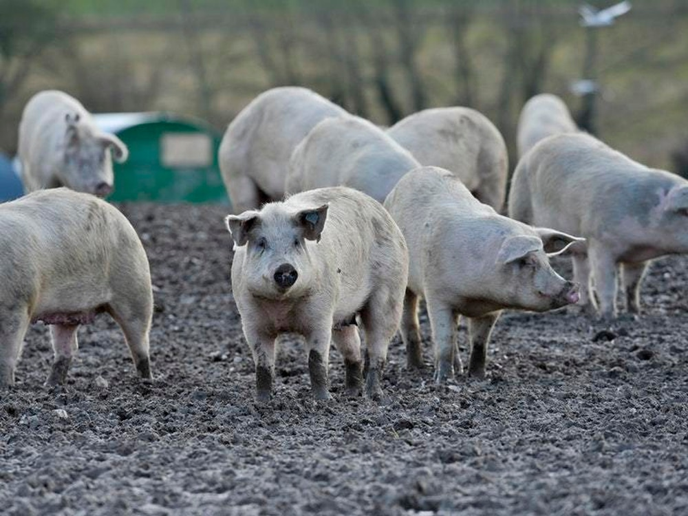 Outrage over plan to kill school's pigs to teach children