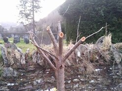 Anger as teenager's memorial tree is chopped back
