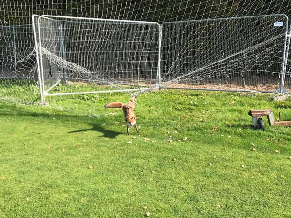 A fox tangled in perimeter netting at Charlton Athletic's training ground in London