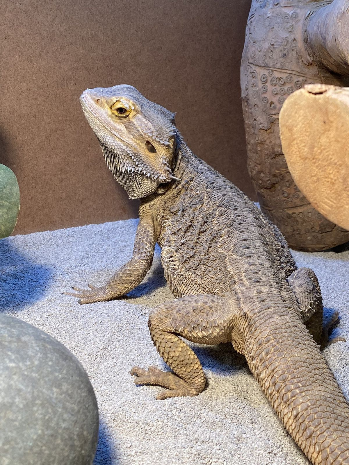 The new lizard, Bertie, who is larger than Gary/Monty and lives in a vivarium