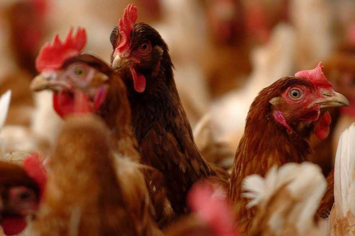 There have been concerns over the number of chicken farms