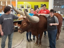 Owners bring their pet bull shopping with them