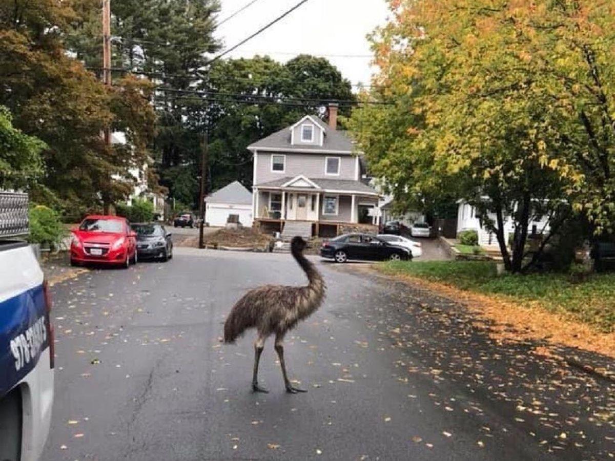 Police in Boston, Massachusetts successfully capture escaped emu