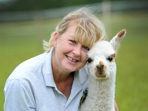 Newborn alpacas at Wildwood Alpacas, Albrighton. Baby Gusto, who was born four weeks, is premature pictured with Sarah Dakin from the farm. She had to look after him in her house as he was born so early