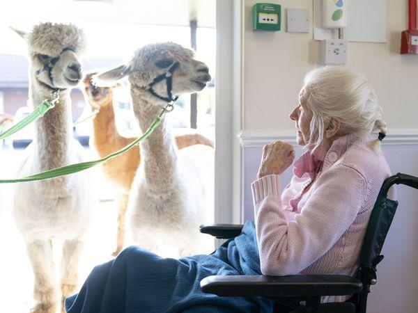 Alpacas care home visit