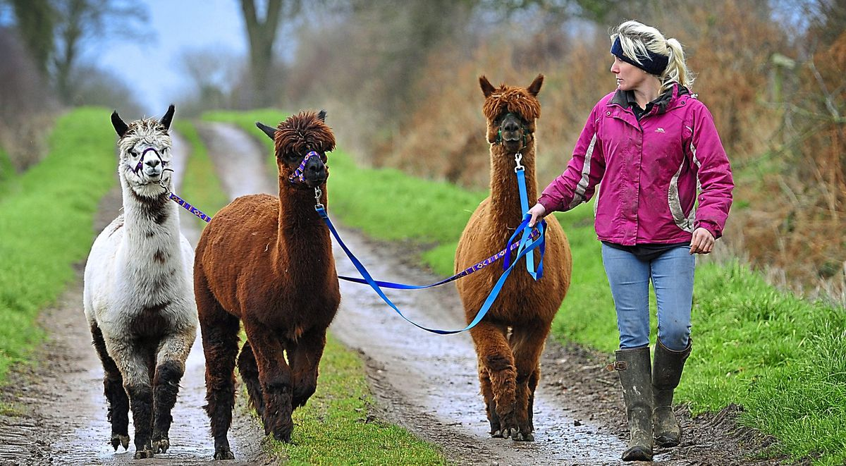 Walkies – herd manager Becky Usherwood takes some of the alpacas for a walk