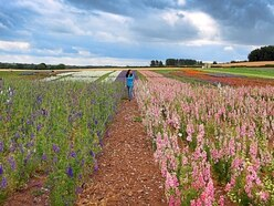 Flower power! Shropshire's confetti fields