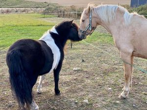 A Shetland Pony and a pony